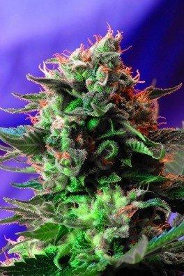 Jack 47 (Sweet Seeds)