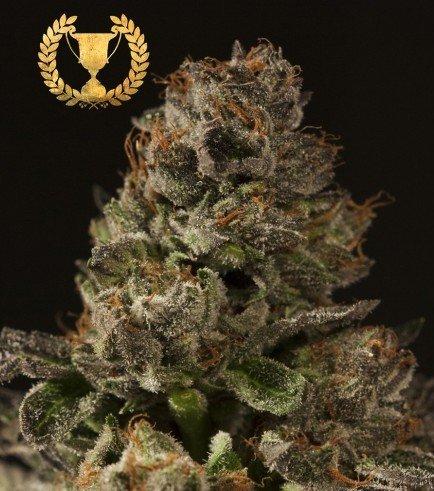 Strawberry Sour Diesel (Devil's Harvest Seeds)