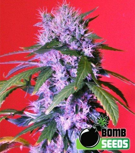 Berry Bomb Auto (Bomb Seeds)