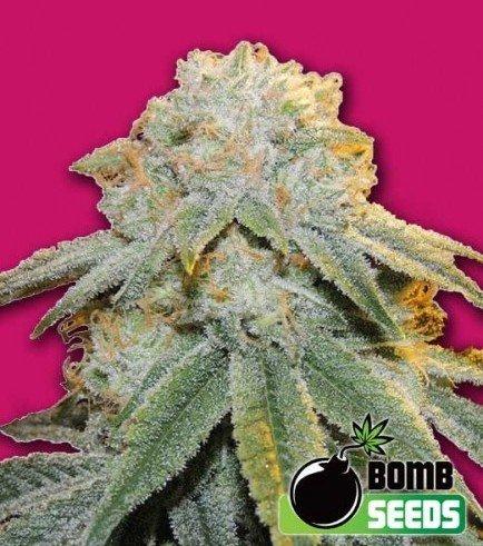 Bubble Bomb (Bomb Seeds)