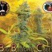 Big Buddha Cheese (Big Buddha Seeds)