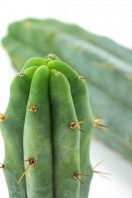 Bolivian Torch Cactus