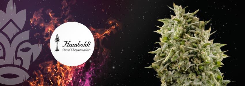 BUBBA KUSH—24% THC