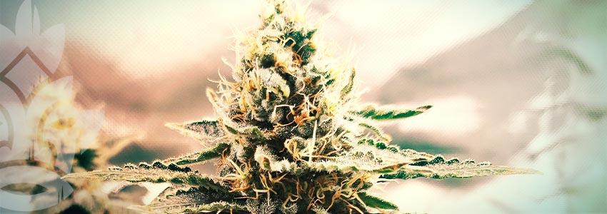 Het Selecteren Van De Ideale Medicinale Cannabis