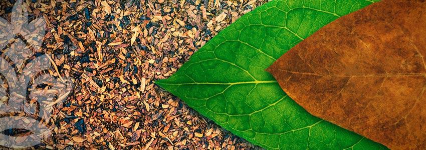 Tobak (Nicotiana Tabacum)