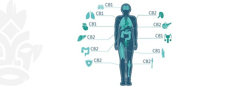 Welke Cannabinoïden Wekken Een High Op?