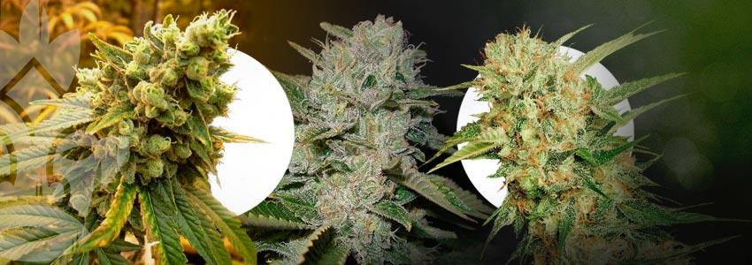 Wat Zijn De Beste Cannabis Soorten Voor ScrOG