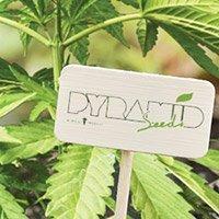 Bekijk de complete catalogus van Pyramid Seeds