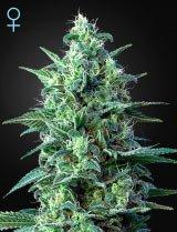White Widow Auto CBD (Greenhouse Seeds)