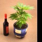 Nieuw Onderzoek: Alcohol voor cannabis verhoogt TCH concentraties in je bloed