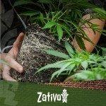 Wat is het beste moment om je cannabis planten te verpotten?