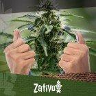 Hoe de gezondheid van je cannabisplanten te controleren
