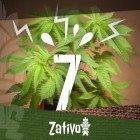 7 Oorzaken van Stress voor Cannabisplanten