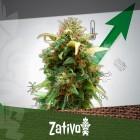 11 Tips Voor Een Grotere Cannabis Oogst