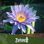 De Blauwe Lotus (Nymphaea caerulea)