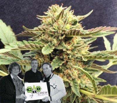 Nieuwe release van CBD Crew: CBD Therapy
