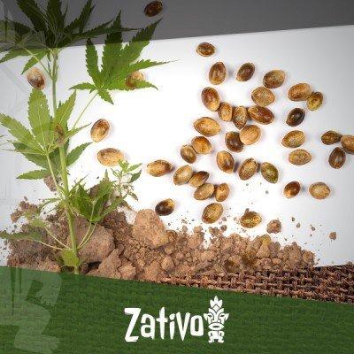 7 voordelen van cannabis zaden in vergelijking met klonen