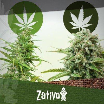 Het Verschil Tussen Cannabis Indica En Sativa