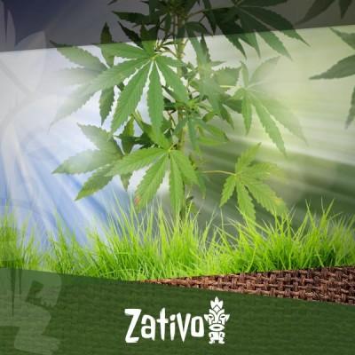 Een Outdoor Cannabis Plantage Beginnen