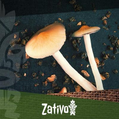 Paddo's en magic truffles microdoseren