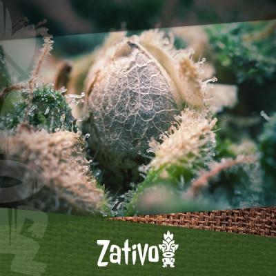 Hoe Herken Je Goede En Slechte Cannabiszaden?