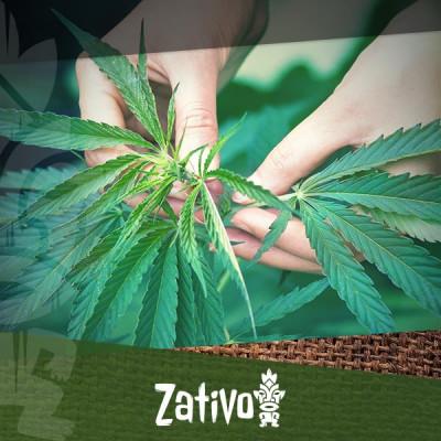 Uitgebreide binnen- en buitenkweekgids voor biologische cannabis