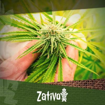Cannabis: Zaden Versus Klonen, Wat Is Beter?